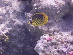 Diagonal butterflyfish (the_crow_19_78) Tags: redsea marsaalam marrosso diagonalbutterflyfish pescefarfallafasciato