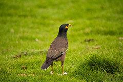 Surveyor of the lawn (Saurav Pandey) Tags: park india bird nature grass bangalore lawn karnataka lalbagh starlings myna mynah acridotherestristis commonmyna sturnidae indianmyna