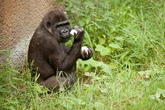 2013-08-08-11h19m45.272P2476 (A.J. Haverkamp) Tags: zoo rotterdam blijdorp gorilla dierentuin diergaardeblijdorp thirza westelijkelaaglandgorilla httpwwwdiergaardeblijdorpnl dob11012007 canonef100400mmf4556lisusmlens pobrotterdamthenetherlands
