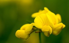 gelbe Blüten (thomaskappel) Tags: gelbe blten