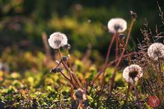 Summer ends.. 3 (Kasia Sokulska (KasiaBasic)) Tags: canada weeds edmonton meadow alberta endofsummer
