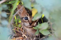 (gCere_photography) Tags: blue brown verde green eye colors leaves foglie cat little blu piccolo colori gatto occhio marrone micio gattino