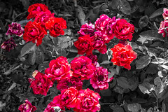 Roses are red (lvaro Hurtado) Tags: madrid park flowers parque red roses espaa plants naturaleza flores nature cutout spain rojo plantas rosas retiro desaturacin d3100