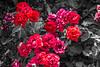 Roses are red (Álvaro Hurtado) Tags: madrid park flowers parque red roses españa plants naturaleza flores nature cutout spain rojo plantas rosas retiro desaturación d3100