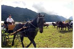 Hippologie - Journe du cheval de trait - Aucun (65) - Cob Normand (Vasnic64) Tags: cheval 65 chevaux vasse percheron cavalerie aucun hautepyrnes