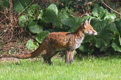 Posing for a portrait (Treflyn) Tags: wild garden reading cub back shot wildlife young fox another berkshire earley