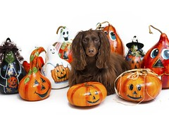 Teddy with painted gourds (Doxieone) Tags: dog halloween gourds pumpkin diy paint witch chocolate crafts painted ghost pumpkins craft hobby dachshund gourd ghosts witches longhaired strobist ipainted