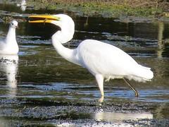 Great White Egret (isephoto) Tags: egrets pitsford greatwhiteegret