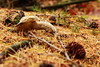31 oktober 2013,      Fallen pride (RW-V) Tags: autumn mushrooms herbst herfst pilze apeldoorn paddestoelen champignons canonefs1755mmf28isusm orderbos canoneos60d lautumne