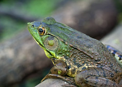 "Green Frog • <a style=""font-size:0.8em;"" href=""http://www.flickr.com/photos/30765416@N06/11393086644/"" target=""_blank"">View on Flickr</a>"