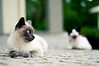 The yawning (erickrochaa) Tags: blue cat 50mm great gato split 18 tones bocejo