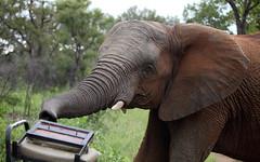 Jeep Inspection (AnyMotion) Tags: africa travel portrait nature animal animals southafrica tiere reisen wildlife portrt trunk afrika curious africanelephant 2014 neugierig loxodontaafricana rssel anymotion afrikanischerelefant canoneos5dmarkii 5d2 karongwegamereserve vision:outdoor=0876
