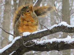 Mr. Squirrel wishes spring would pop soon or hopes  Mr. Sun will come out soon to melt the snowflakes and help him keep warm. (sdusbiber) Tags: elements