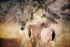 The Ear . . . (Passion4Nature) Tags: texture rural texas wildlife ears doe deer textures hillcountry whitetaildeer moonseclipse memoriesbook magicunicornverybest