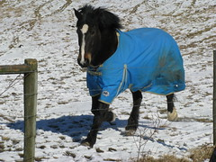 Stomping? Sorry trotting. (horses merci) Tags: blue winter horse snow bay farm blanket trotting pmurescue