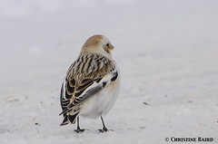 Snow Bunting (Summerside90) Tags: winter snow ontario canada bird nature birds wildlife country roads february gravel birdwatcher snowbunting