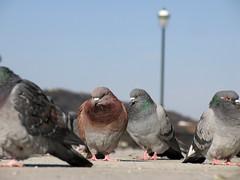 (  / Yorozuna) Tags: birds pigeon dove