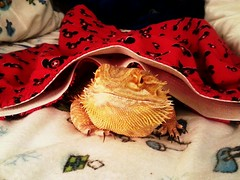 Undies On My Lizard (Cerulean Fish) Tags: animal animals mouse clothing dragon boxers underwear reptile dragons disney mickey lizard clothes boxer shorts lizards bearded pogona reptiles vitticeps flickrandroidapp:filter=none