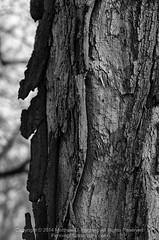 The Face of Time (MattPenning) Tags: tree blackwhite pentax potd bark m42 weathered rough k5 springfieldillinois washingtonpark mattpenning manuallens m42mount supertakumar85mmf19 geocity penningphotography justpentax exif:make=pentax camera:make=pentax geostate geocountrys pentaxk5 exif:focallength=150mm camera:model=pentaxk5 exif:model=pentaxk5 exif:isospeed=100