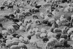Clony (Arash Sefid) Tags: bw white black nikon sheep iran arash mazandaran sefid 24120 d700