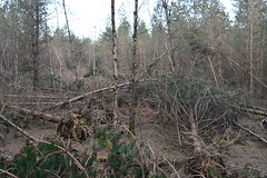 St Leonards Forests trees felled in the recent storms (Lord Cogsby) Tags: trees storms