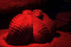 red light (Cloudtail the Snow Leopard) Tags: zoo karlsruhe tier animal mammal säugetier mungo zebramanguste mongoose rotlicht cloudtailthesnowleopard