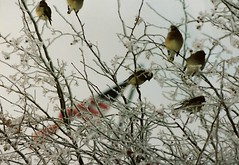 WAXWINGS ON A DAY OF TRAGEDY (roberthuffstutter) Tags: new snapshots treasures justposted worldzbestfotoz huffstutter randomsnapshotsandart robertsunsorted tagspending americanphotographs mustseephotos huffstuttersoriginalphotosart