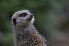 _MG_4053 (ChantelleHarper) Tags: africa uk face look mammal zoo meerkat sand europe cornwall britain african small newquay british dust captive gaze captivity upward carnivore