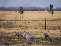 140404_Crane Aerobics_44 (Lynnette_) Tags: birds animals spring nebraska seasons events places cranes april month sandhillcranes 2014 springmigration platterivervalley cranemigration
