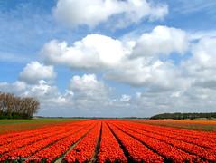 tulips en clouds