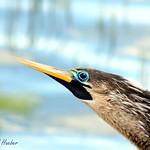 Anhinga adult female alternate / breeding plumage (Anhinga anhinga)