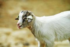 Baby-Goat (Vlachbild) Tags: nature animal mammal europe natur goat luxembourg naturephotography bettembourg outdoorphotography minoltaaf20028apo sonyslta99