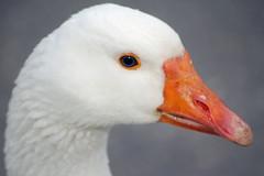 blue eyes... (Brenda Tiel fotografie) Tags: blauw blueeyes goose gans wit