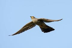 Cuculo (d.carradori) Tags: beautiful natura uccelli toscana atmosfera fotografare cuculo flickrsbest eliteimages fotoclubilbacchino carradori