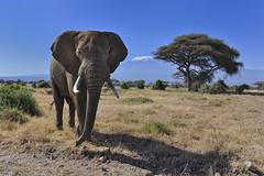 Elephants in Amboseli National Park, Kenya, East Africa (diana_robinson) Tags: africa mtkilimanjaro kenya elephants africanelephant eastafrica loxodontaafricana bullelephant africanbushelephant amboselinationalpark bigtusker