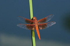 Flame Skimmer by the lake. (Alexandra Rudge.Thank you for 4,5 millons + viewer) Tags: naturaleza insectos nature animal canon libelula animales timo animalia arthropoda libellula insecto scatto odonata libellulidae insecta anisoptera defendersofwildlife californiawildlife libellulasaturata losangeleswildlife californiadragonflies southerncaliforniadragonflies flickrhivemindgroup alexandrarudge orangelibellula libelulanaranja malelibellula libelulamacho maleflameskimmer malelibellulasaturata libellulasaturatamacho wildlifeofcalifornia lawildlife losangelesdragonflies ladragonflies losangeleslibellulasaturata lalibellulasaturata californialibellulasaturata southerncalifornialibellulasaturata losangelesskimmers laskimmers californiaskimmers southerncaliforniaskimmers alexandrarudgedragonfliesanddamselflies