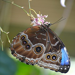 Morpho with torn wing hangs from tiny pink orchids (jungle mama) Tags: morphopeleides commonmorpho morpho tropicalbutterflies blue tornwing oncidium orchid pink wingsofthetropics fairchildtropicalbotanicgarden fairchildgarden ngc coth5 mygearandme bluemorpho theemperor fabuleuse
