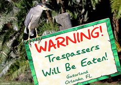 """I sure hope that sign says This Way To The Snack Bar."" (Shannon Rose O'Shea) Tags: bird heron nature sign orlando florida wildlife waterfowl blackcrownednightheron gatorland birdyfeet canoneos7d shannonroseoshea"