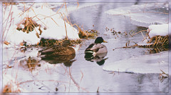 {Mallard Winter Activity} - III. (Wolverine09J ~ 1 Million + Views) Tags: splash northamericannaturewildlifephotography holycreationsofnature henanddrake naturespotofgoldlevel1 naturespoetry~level1 faunafloralandscapes ~wonderfulworldofwildlife~ waterfowlcameo wintercreekmallards