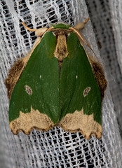 Notodontidae: Rosema epigena (K. Zyskowski and Y. Bereshpolova) Tags: brazil notodontidae amazonas phalerinae yavari rosema javari palmari epigena