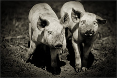 siblings on tour (gabi_wienberg) Tags: ferkel nutztiere geschwister freilandhaltung monochrom knopfimohr piglet siblings pig nature walking portraits bright sockets steckdosen matsch muddy mitdenwimpernklimpern wimpern lashes schweinchen