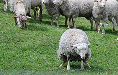 Excuse me Ladies....I will be with You in a Minute! (Poocher7) Tags: grass standing funny sheep farm grazing urinating woolly squatting ewe woolysheep
