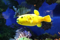 Yellow Submarine (io747) Tags: fish fisch gelb kofferfisch specanimal