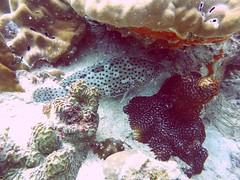 Koh Tao (Scuba Diving), Thailand (Jan-2016) 14-072 (MistyTree Adventures) Tags: ocean sea fish water coral thailand twins marine asia seasia underwater outdoor diving scubadiving kohtao gulfofthailand panasoniclumix