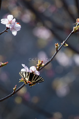 Luehdorfia japonica (kenta_sawada6469) Tags: pink flowers plants plant flower macro tree nature colors butterfly cherry spring wildlife butterflies bugs lepidoptera cherryblossom sakura papilionidae japaneseluehdorfia