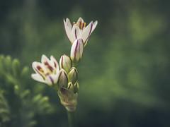 Detalles (Moises Caballero Lopez) Tags: naturaleza flower macro nature dof bokeh flor olympus omd f60 profundidaddecampo 43mm 1250mm em5 mzuiko olympusomdem5 olympusmzuikodigital1250mm13563ezedmsc mcaballero