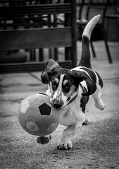 Fetch (davidjhumphries) Tags: portrait dog pet white playing black cute canon ball puppy 50mm mutt play f14 hound free droopy ears run whiskers basset 5d collar fetch mkii
