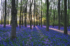 Ray of light at Dockey wood (C-Smooth) Tags: morning flowers nature bluebells forest woodland landscape magical rayoflight hyacinthoidesnonscripta dockeywood