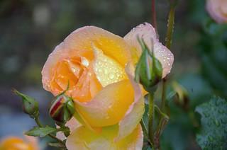 Weeping Rose