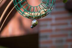 bluetit / Blaumeise (Maxpack81) Tags: blue green bird yellow canon garden photography eos fotografie photographie outdoor gelb grn blau garten bluetit vogel blaumeise fotographie photografie 600d